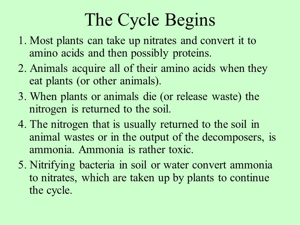 The Cycle Begins 1. Most plants can take up nitrates and convert it to amino acids and then possibly proteins.
