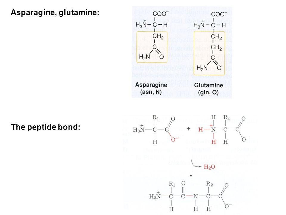 Asparagine, glutamine:
