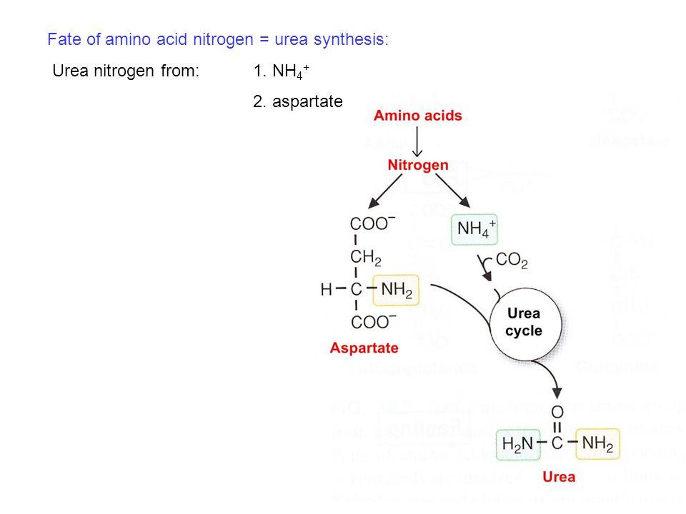 Fate of amino acid nitrogen = urea synthesis: