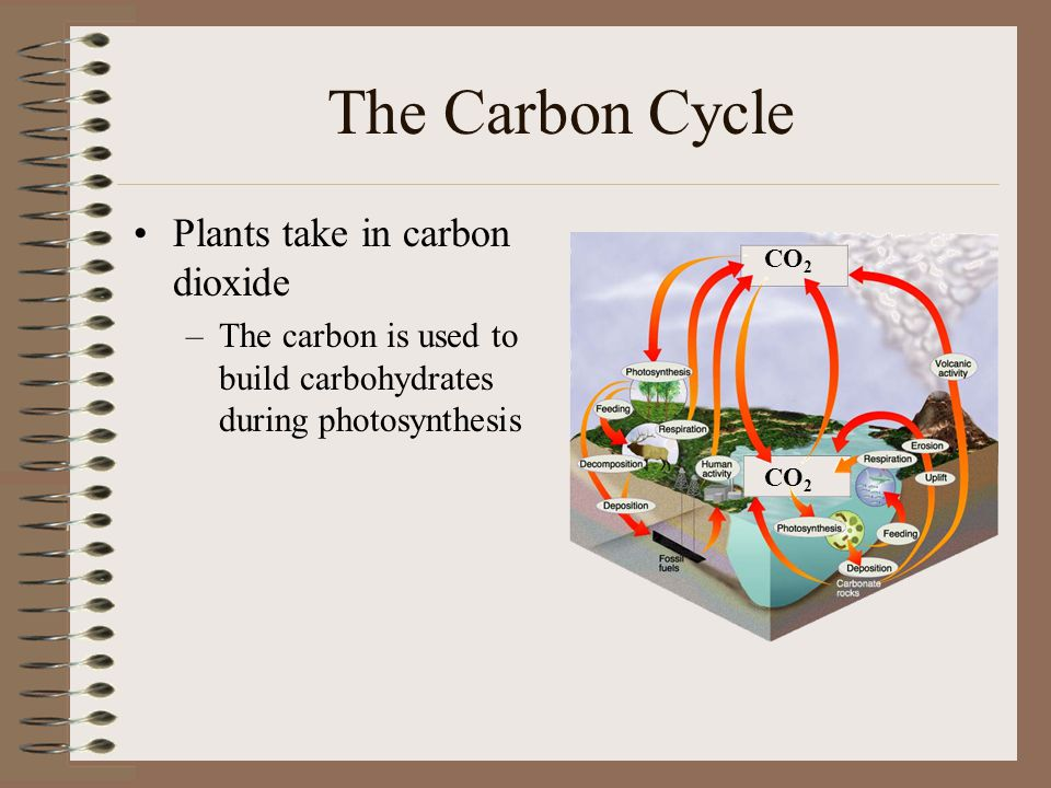 The Carbon Cycle Plants take in carbon dioxide