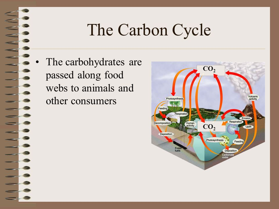 The Carbon Cycle The carbohydrates are passed along food webs to animals and other consumers. CO2.