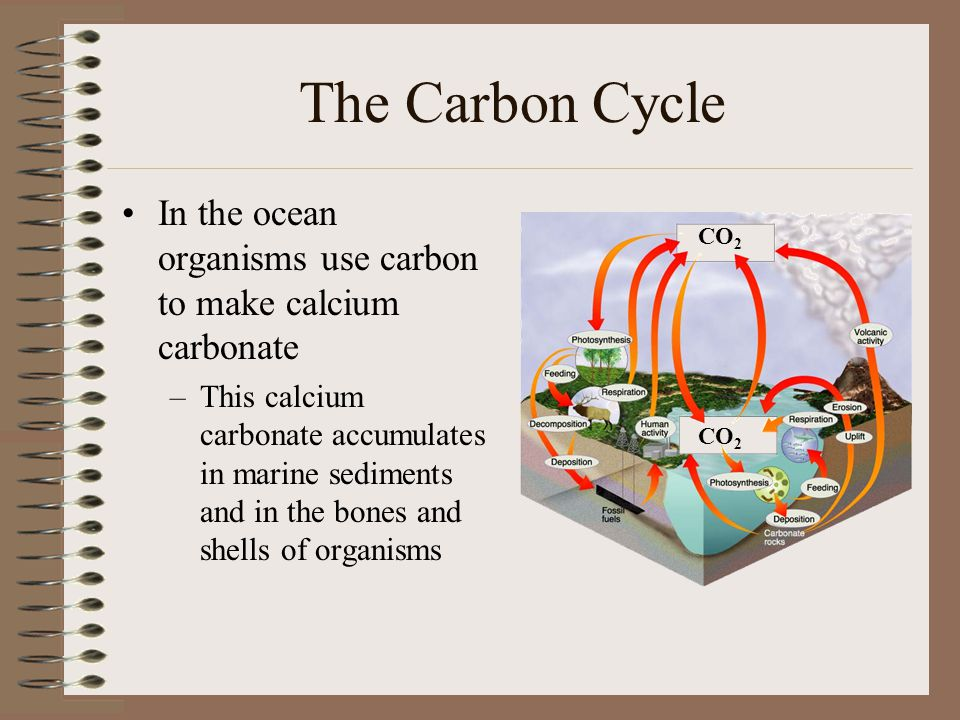 The Carbon Cycle In the ocean organisms use carbon to make calcium carbonate.