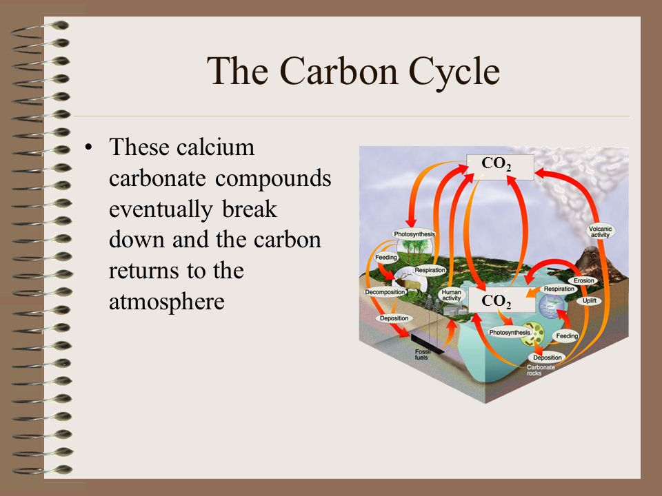 The Carbon Cycle These calcium carbonate compounds eventually break down and the carbon returns to the atmosphere.