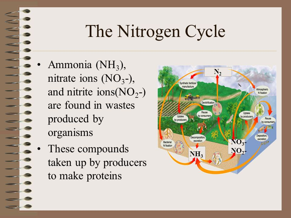 The Nitrogen Cycle Ammonia (NH3), nitrate ions (NO3-), and nitrite ions(NO2-) are found in wastes produced by organisms.