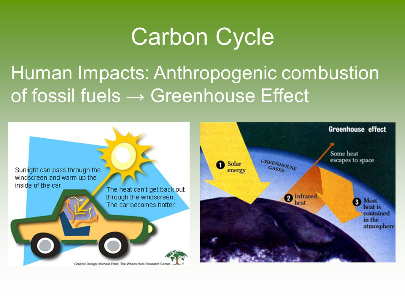 Carbon Cycle Human Impacts: Anthropogenic combustion of fossil fuels → Greenhouse Effect
