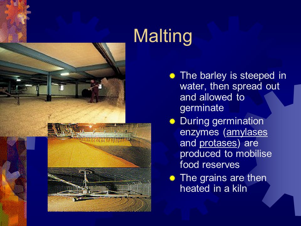 Malting The barley is steeped in water, then spread out and allowed to germinate.