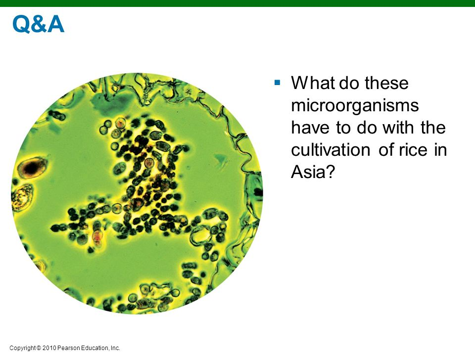 Q&A What do these microorganisms have to do with the cultivation of rice in Asia
