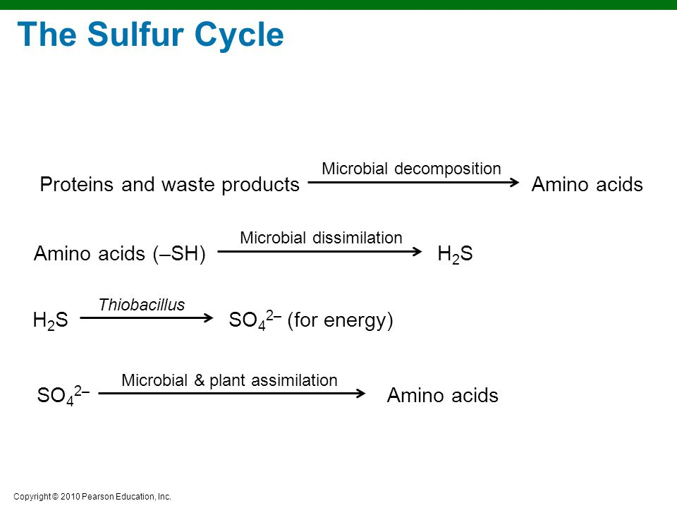 The Sulfur Cycle Proteins and waste products Amino acids