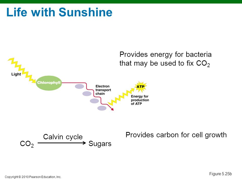 Life with Sunshine Provides energy for bacteria that may be used to fix CO2. Provides carbon for cell growth.