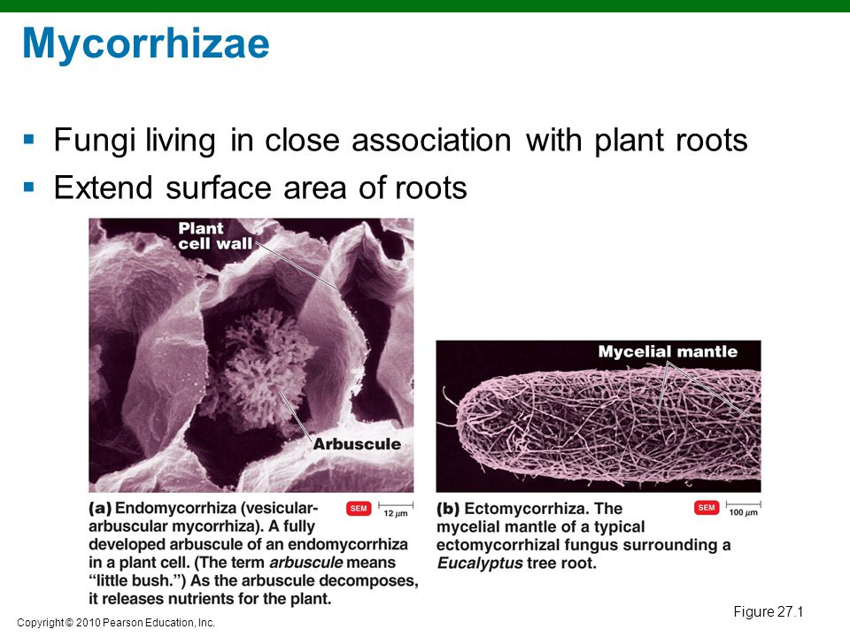 Mycorrhizae Fungi living in close association with plant roots