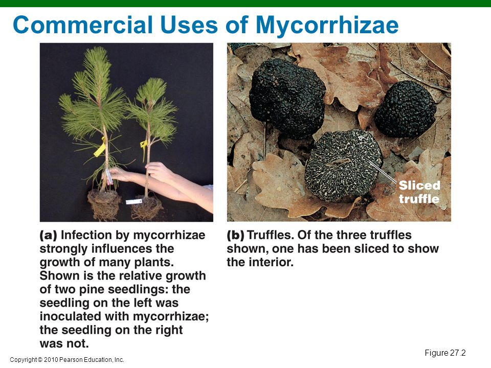Commercial Uses of Mycorrhizae
