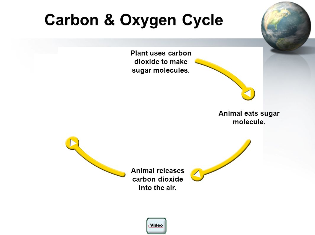 Carbon & Oxygen Cycle Plant uses carbon dioxide to make sugar molecules. Plant takes in carbon dioxide.