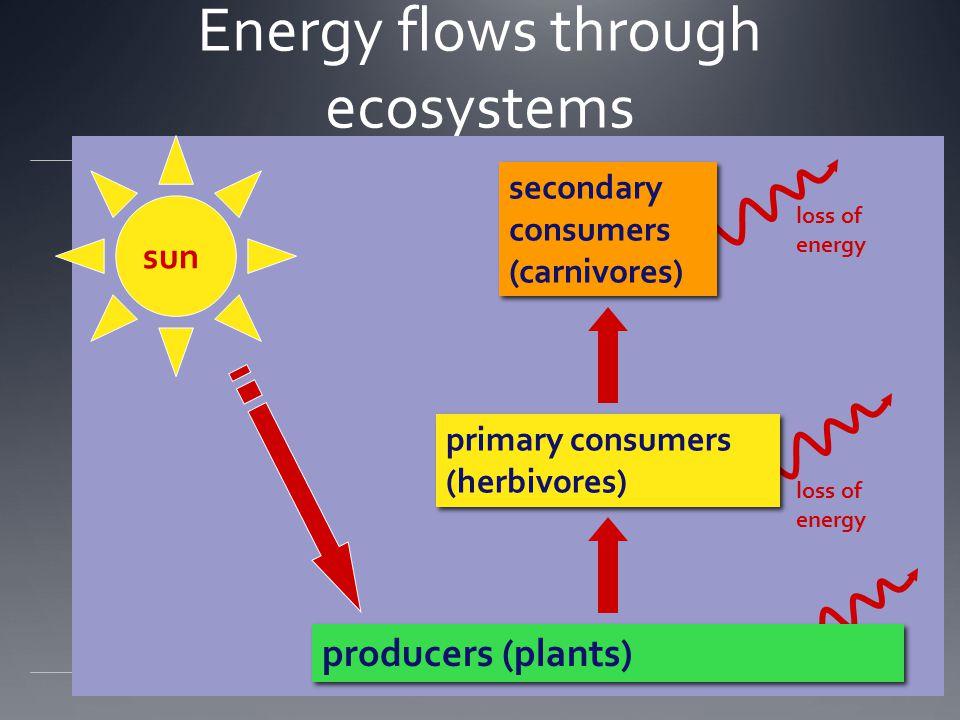Energy flows through ecosystems