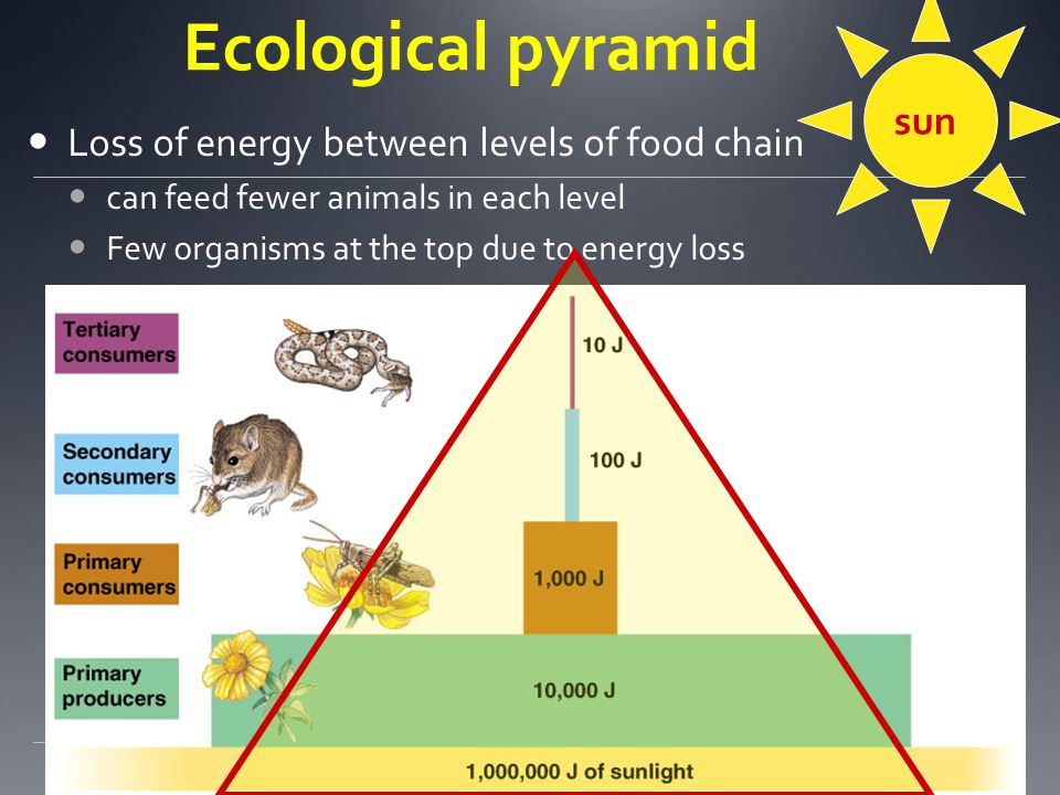 Ecological pyramid sun Loss of energy between levels of food chain