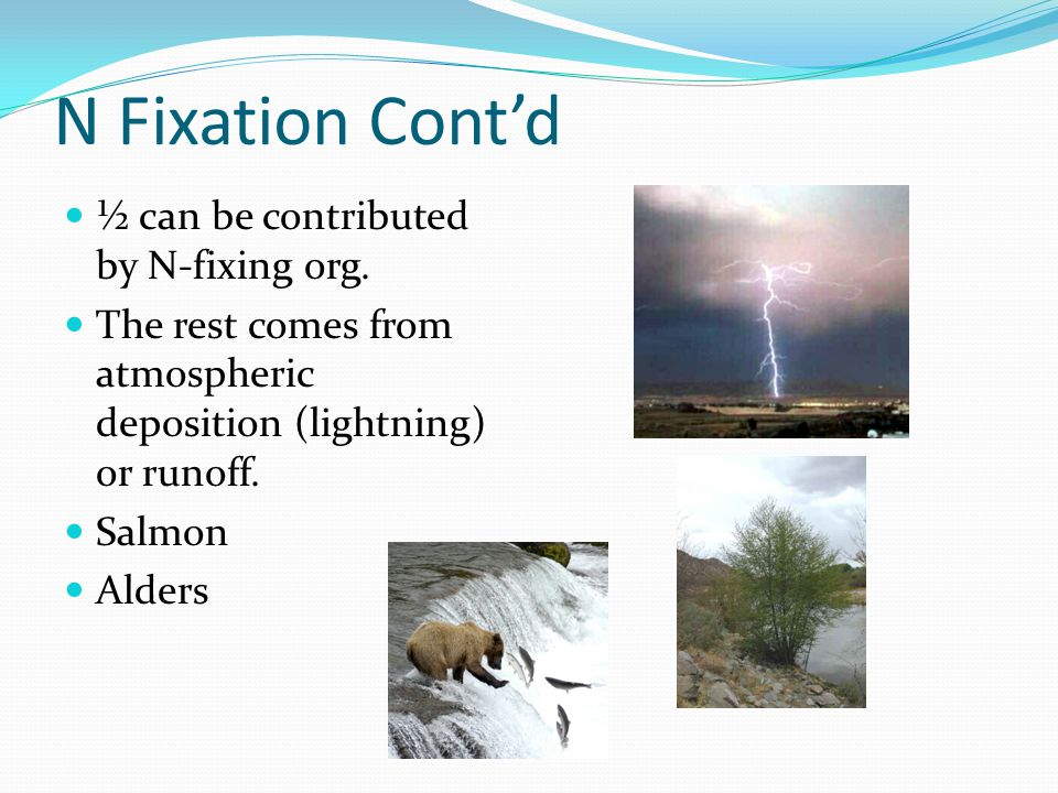N Fixation Cont'd ½ can be contributed by N-fixing org.