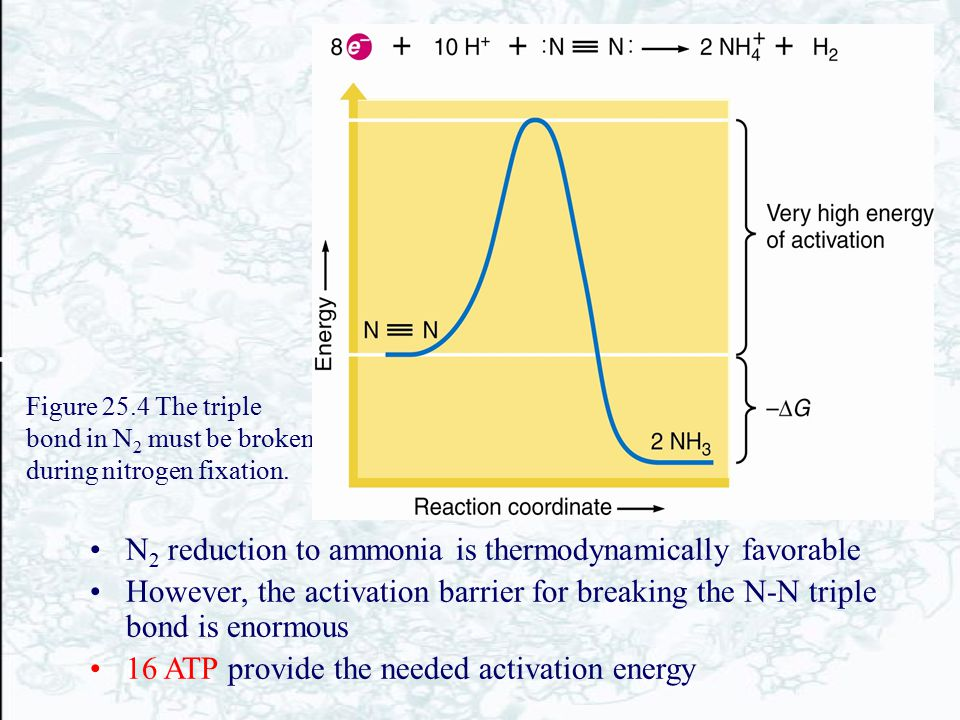 N2 reduction to ammonia is thermodynamically favorable