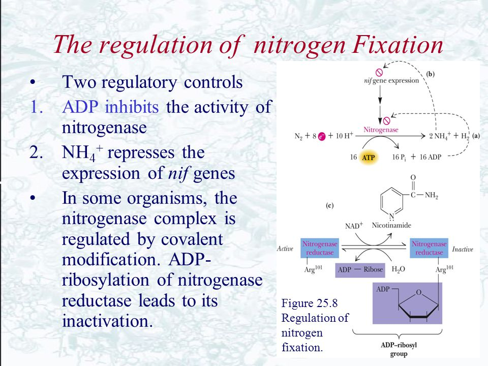 The regulation of nitrogen Fixation