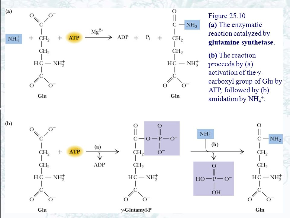 Figure 25.10 (a) The enzymatic reaction catalyzed by glutamine synthetase.