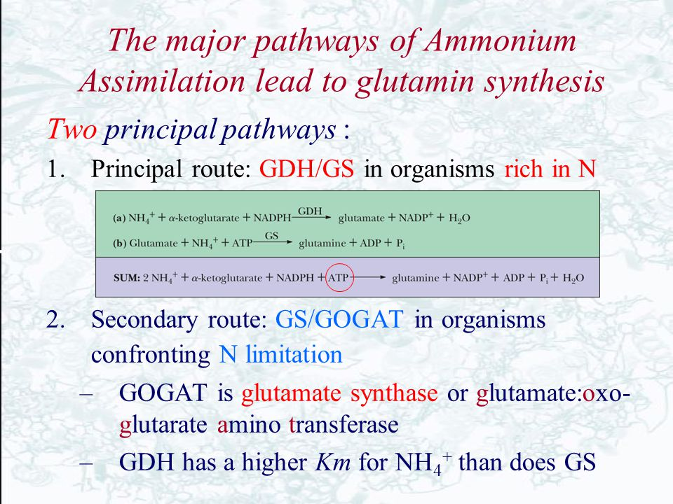 The major pathways of Ammonium Assimilation lead to glutamin synthesis