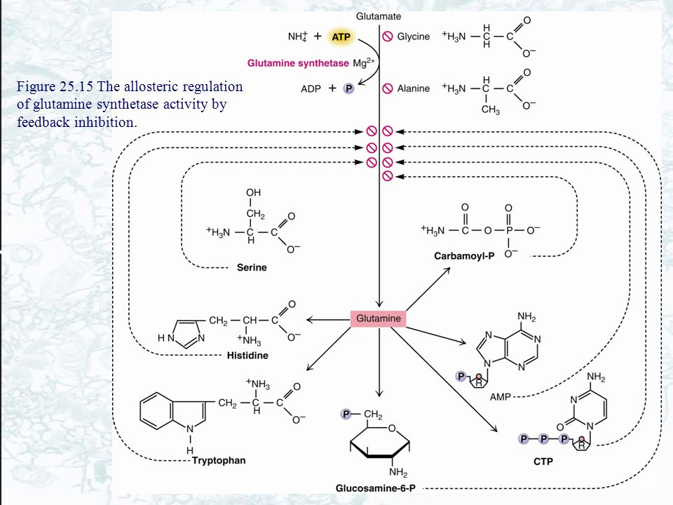 Figure 25.15 The allosteric regulation of glutamine synthetase activity by feedback inhibition.