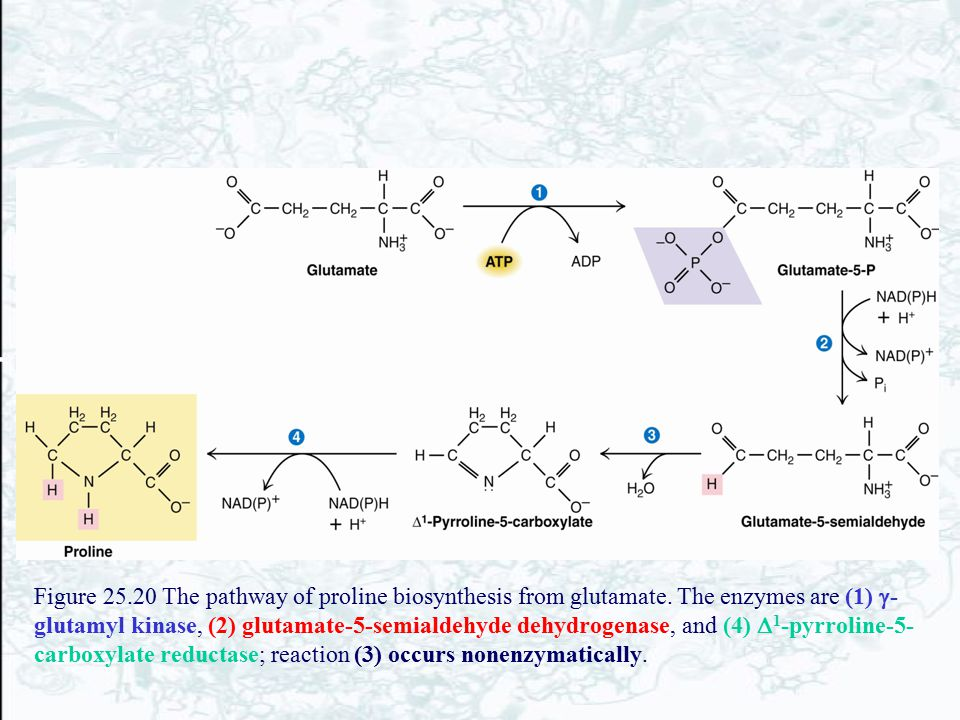 Figure 25. 20 The pathway of proline biosynthesis from glutamate