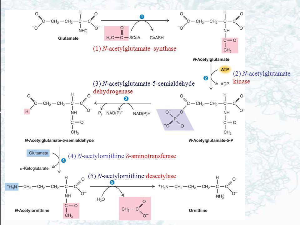 (1) N-acetylglutamate synthase