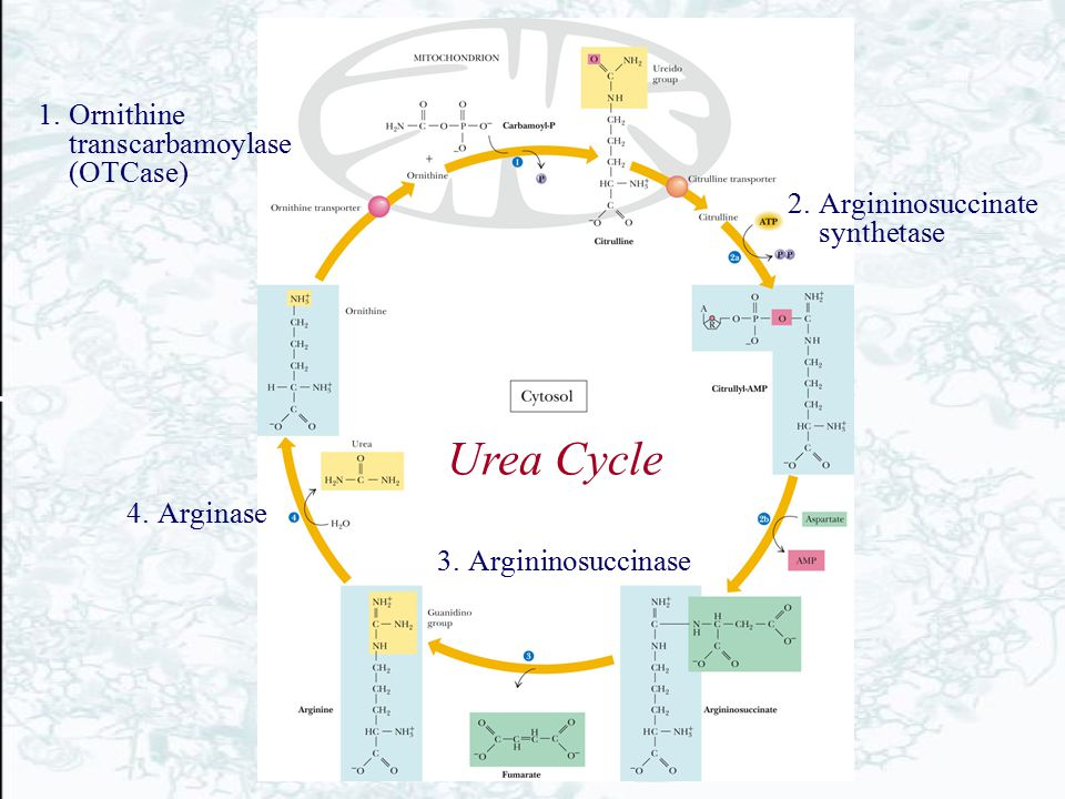 Urea Cycle Ornithine transcarbamoylase (OTCase)