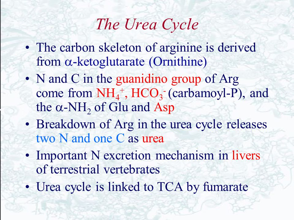 The Urea Cycle The carbon skeleton of arginine is derived from a-ketoglutarate (Ornithine)
