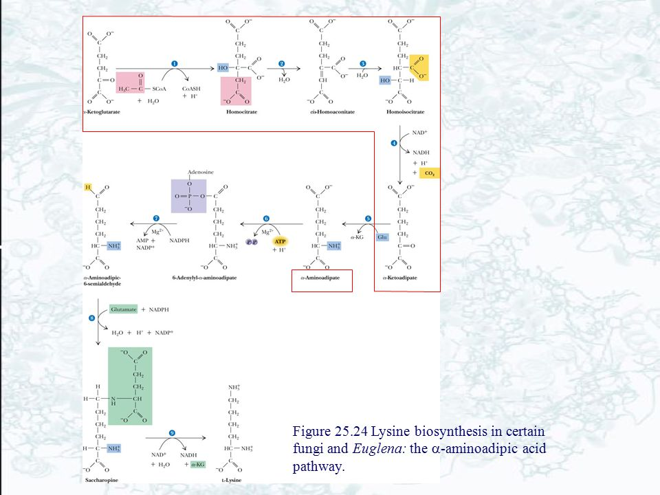 Figure 25.24 Lysine biosynthesis in certain fungi and Euglena: the a-aminoadipic acid pathway.