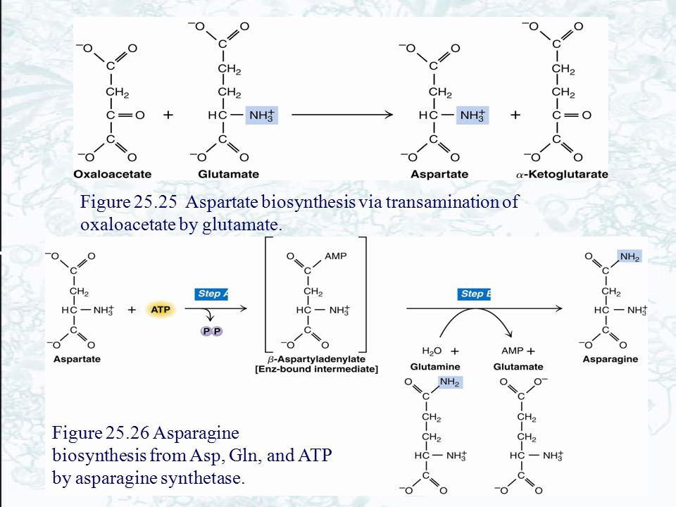 Figure 25.25 Aspartate biosynthesis via transamination of oxaloacetate by glutamate.