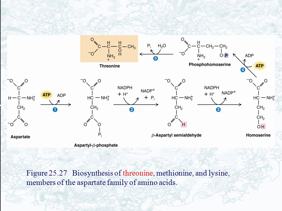 Figure 25.27 Biosynthesis of threonine, methionine, and lysine, members of the aspartate family of amino acids.