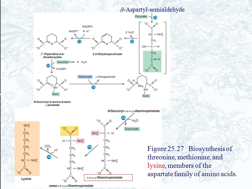 b-Aspartyl-semialdehyde
