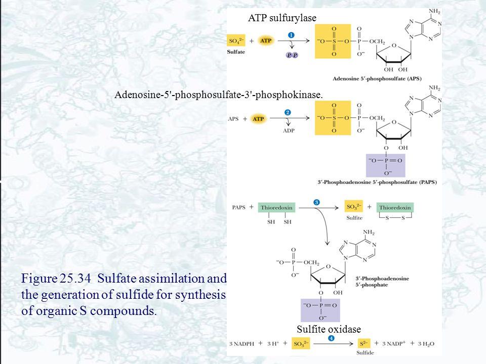 ATP sulfurylase Adenosine-5 -phosphosulfate-3 -phosphokinase.
