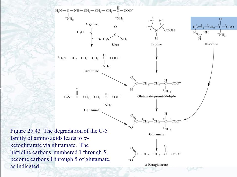 Figure 25.43 The degradation of the C-5 family of amino acids leads to a-ketoglutarate via glutamate.