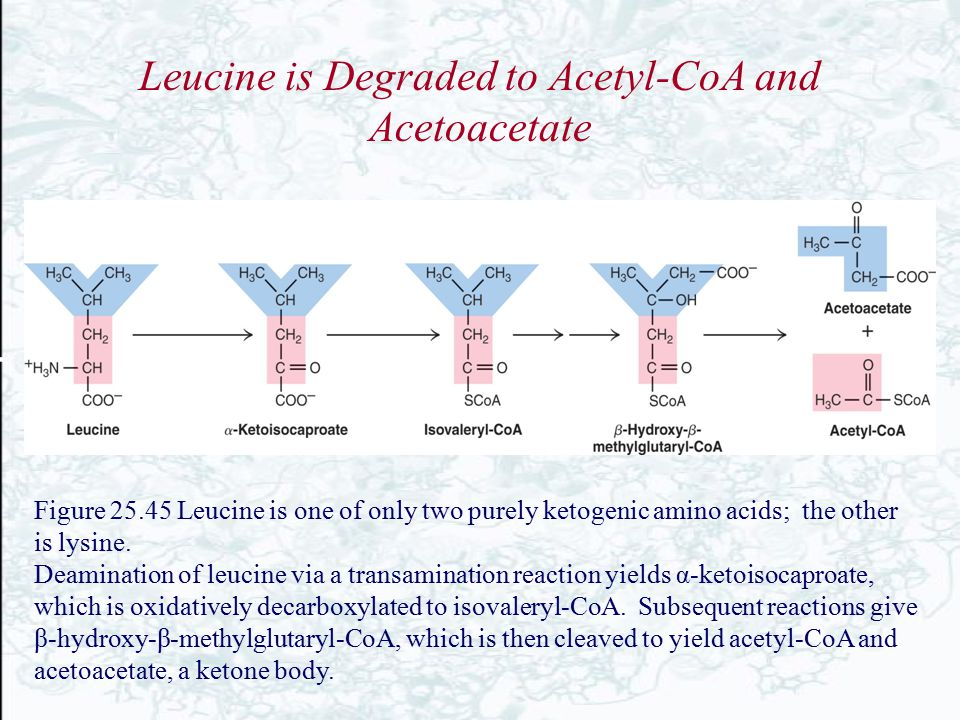 Leucine is Degraded to Acetyl-CoA and Acetoacetate