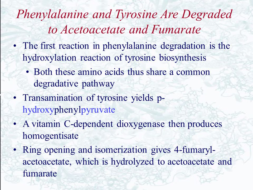 Phenylalanine and Tyrosine Are Degraded to Acetoacetate and Fumarate