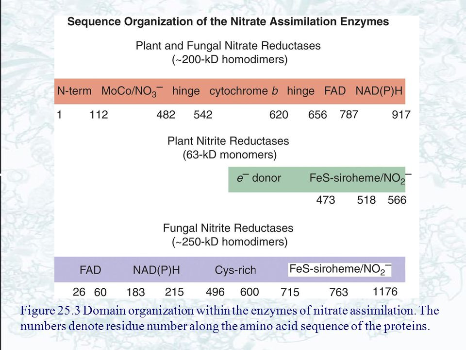 Figure 25.3 Domain organization within the enzymes of nitrate assimilation.