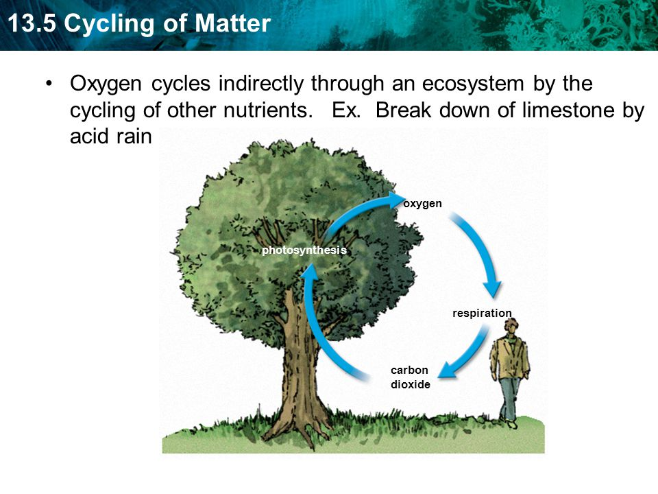 Oxygen cycles indirectly through an ecosystem by the cycling of other nutrients. Ex. Break down of limestone by acid rain