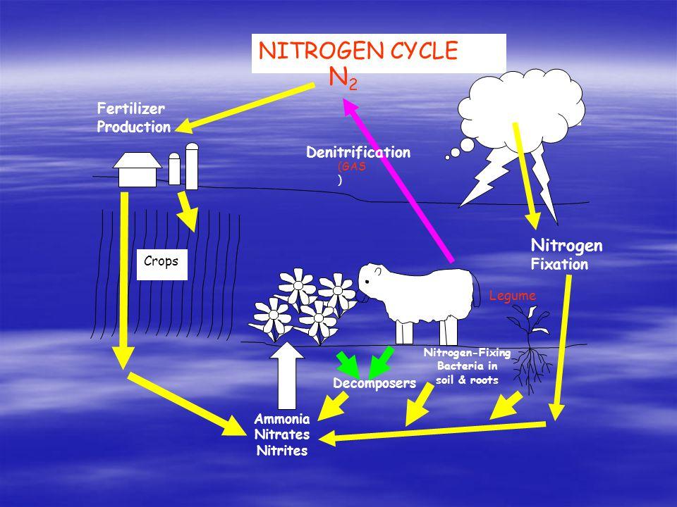 Nitrogen-Fixing Bacteria in