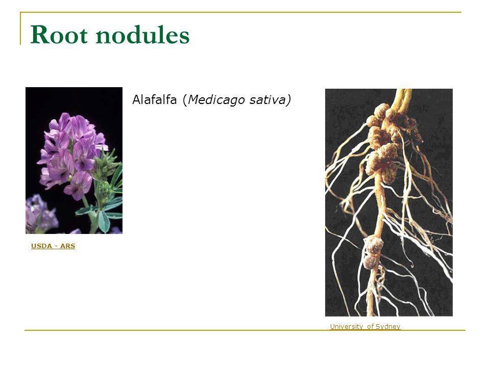 Root nodules Alafalfa (Medicago sativa) USDA - ARS