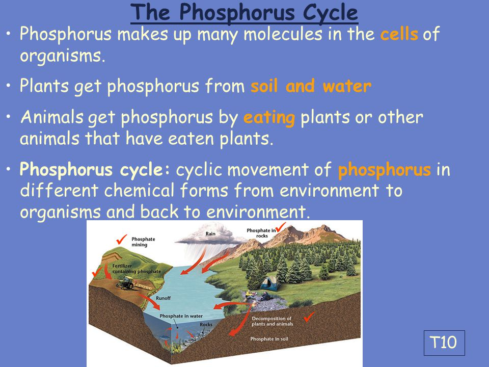 The Phosphorus Cycle Phosphorus makes up many molecules in the cells of organisms. Plants get phosphorus from soil and water.