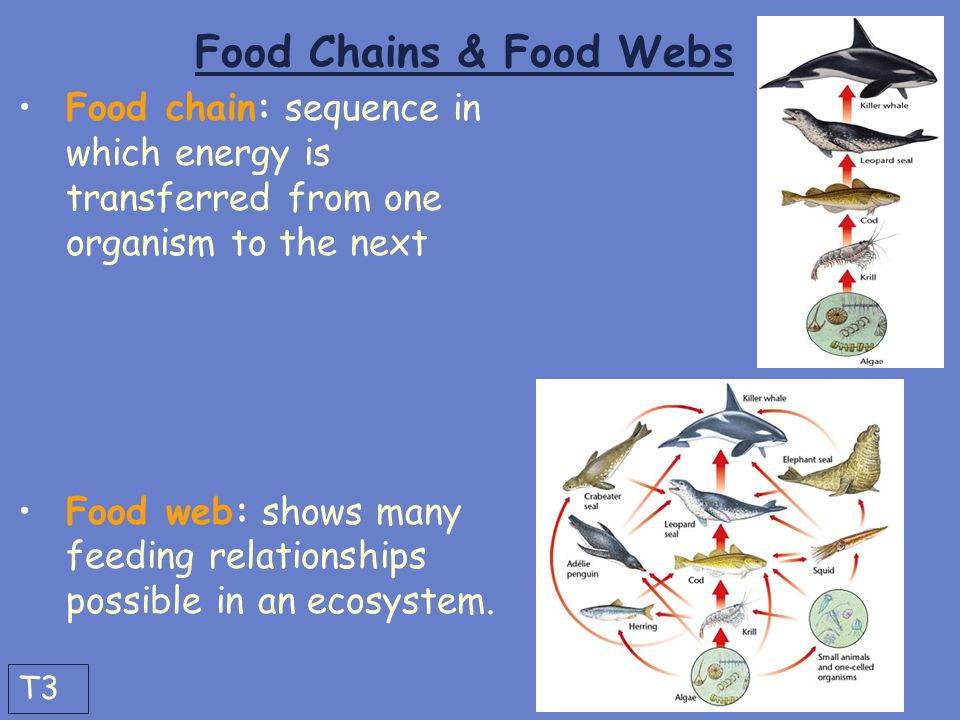Food Chains & Food Webs Food chain: sequence in which energy is transferred from one organism to the next.