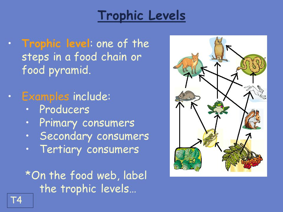 Trophic Levels Trophic level: one of the steps in a food chain or food pyramid. Examples include: Producers.