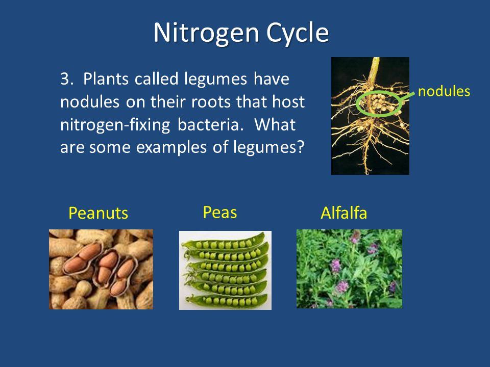 Nitrogen Cycle 3. Plants called legumes have nodules on their roots that host nitrogen-fixing bacteria. What are some examples of legumes