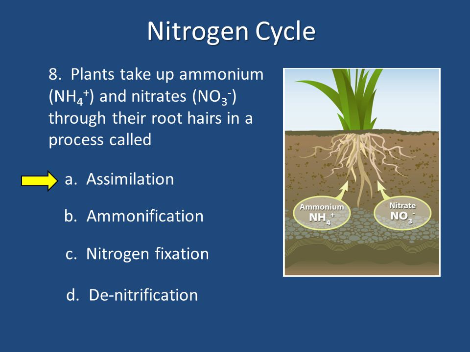 Nitrogen Cycle 8. Plants take up ammonium (NH4+) and nitrates (NO3-) through their root hairs in a process called.