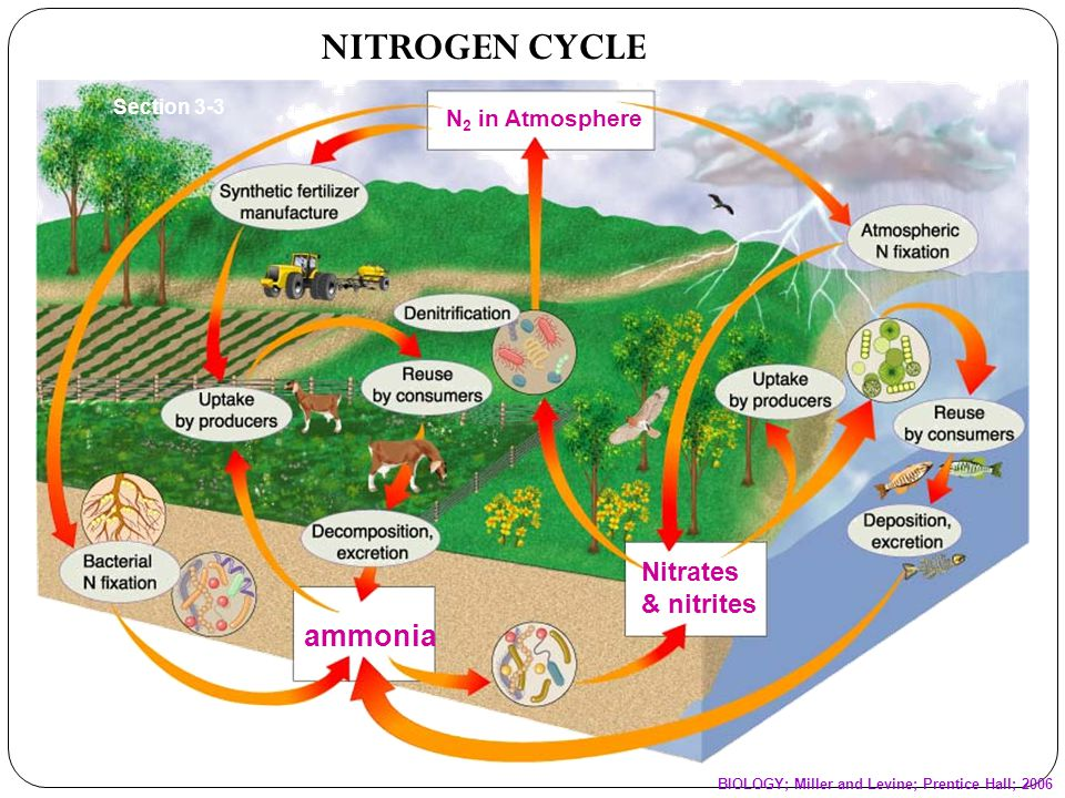 NITROGEN CYCLE ammonia Nitrates & nitrites N2 in Atmosphere