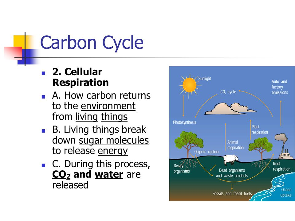 Carbon Cycle 2. Cellular Respiration