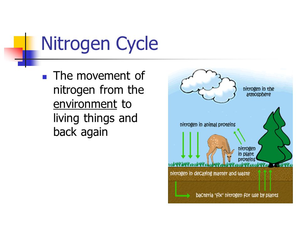 Nitrogen Cycle The movement of nitrogen from the environment to living things and back again