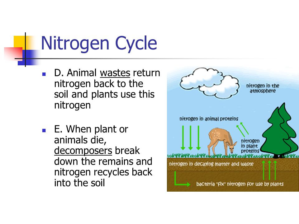 Nitrogen Cycle D. Animal wastes return nitrogen back to the soil and plants use this nitrogen.