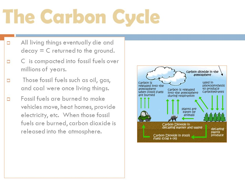 The Carbon Cycle All living things eventually die and decay = C returned to the ground. C is compacted into fossil fuels over millions of years.